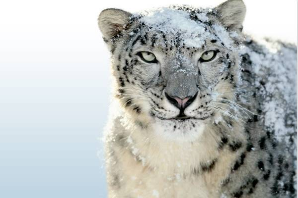 snow leopard pictures. Snow Leopard bug waxes user
